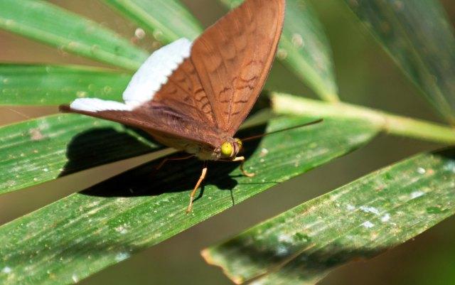 Common Earl (Tanaecia julii odilina) male