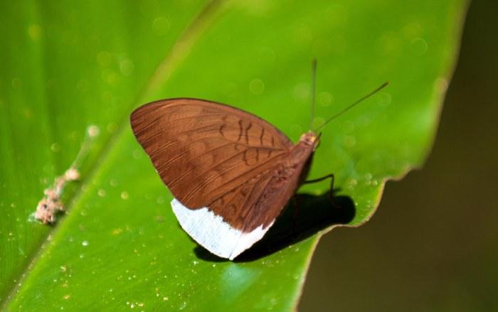 Common Earl (Tanaecia julii) male