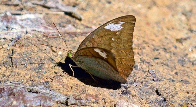 Common Earl (Tanaecia julii odilinia) female