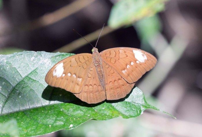 Common Earl (Tanaecia julii odilinia) female Doi Pui 3