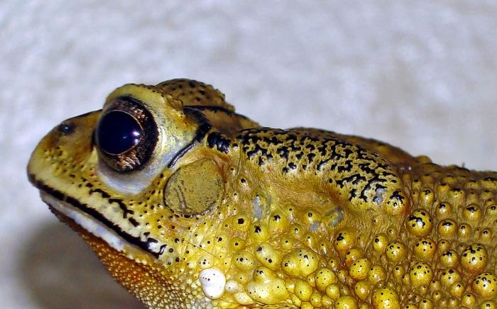 Duttaphrynus melanostictus parotid gland