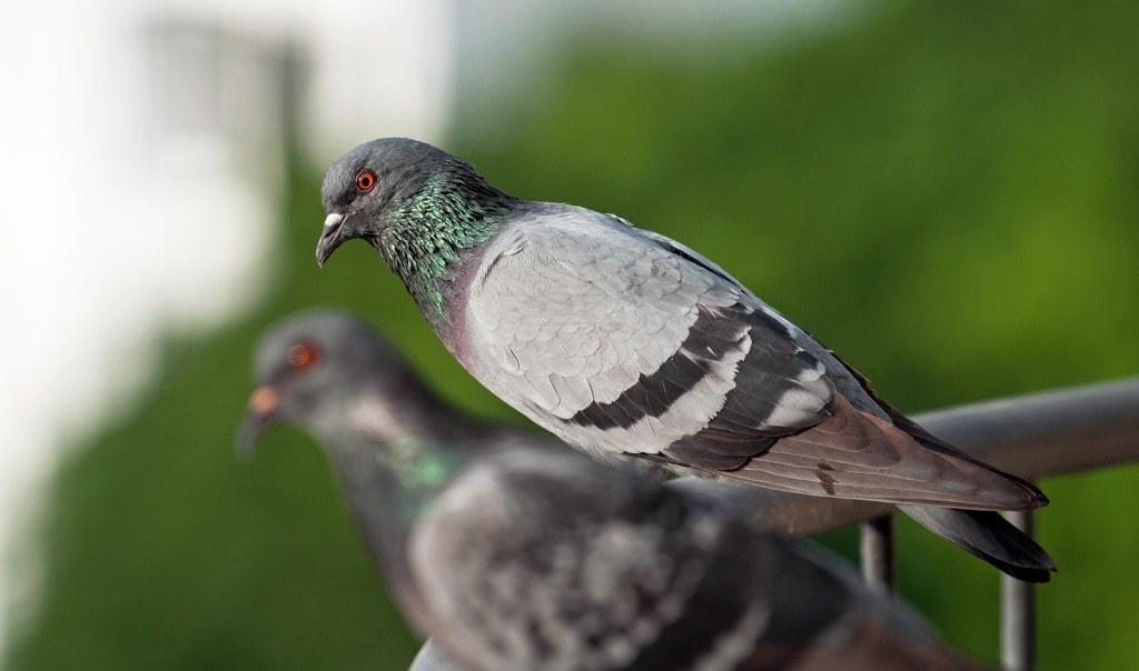Feral pigeon (Columba livia domestica) male