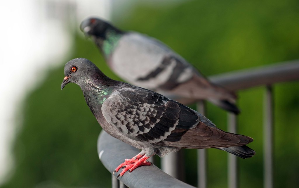 Feral pigeons (Columba livia domestica) female with chequered plumage