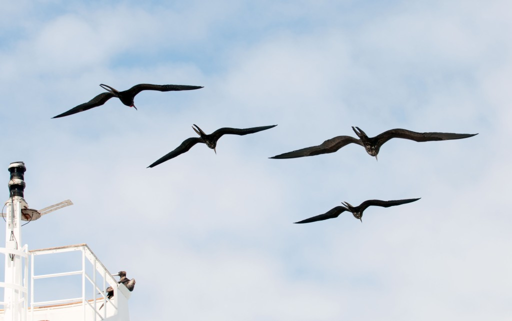 Frigatebirds gliding above a moving ship in the Galapagos