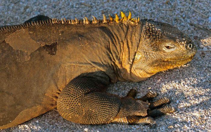 Land iguana (Conolophus subcristatus) Galapagos