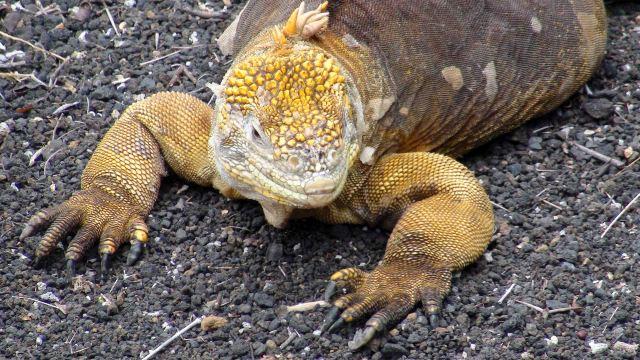 Land iguana (Conolophus subcristatus) Galapagos captive bred.