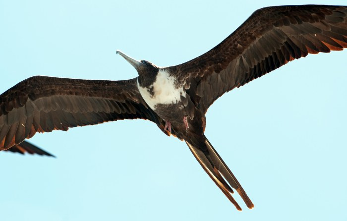 Magnificent frigatebird female