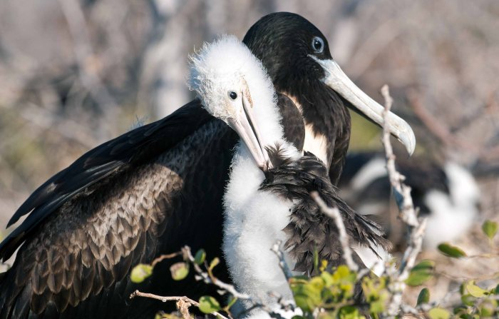 Magnificent frigatebird female with chick