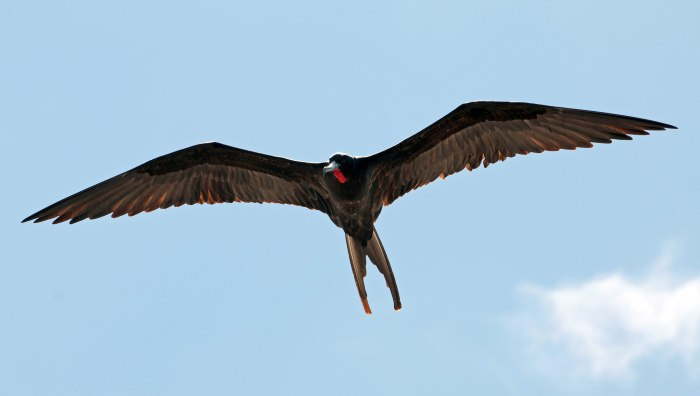 Magnificent frigatebird male Galapagos