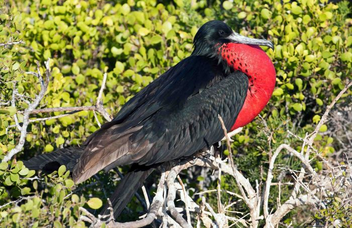 Magnificent frigatebird male, North Seymour Is