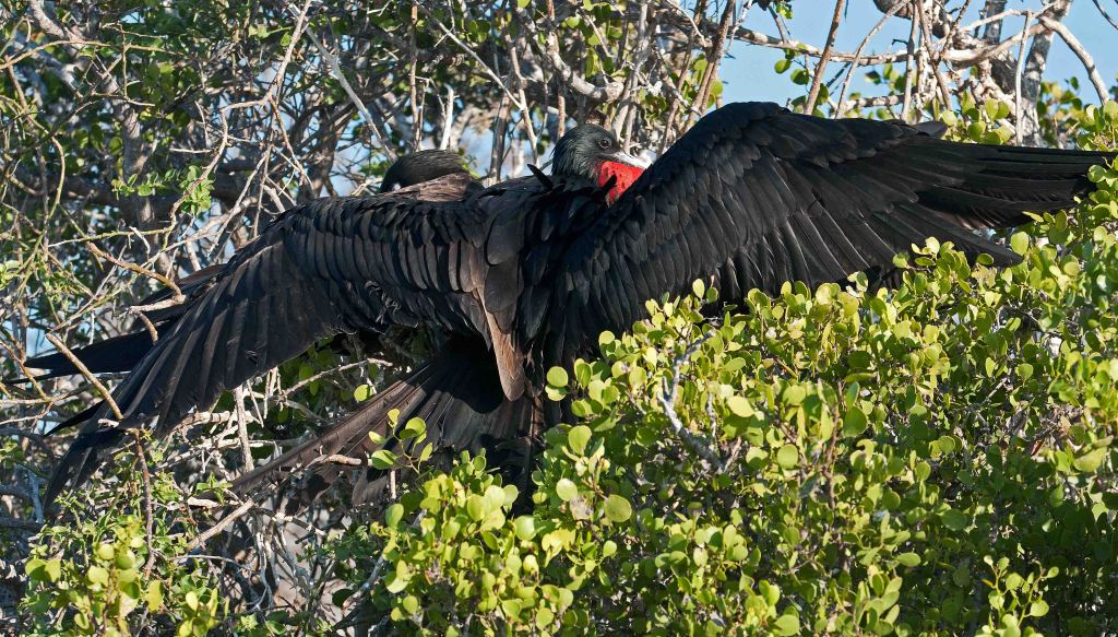 Magnificent frigatebird male in 'sunbathing posture'