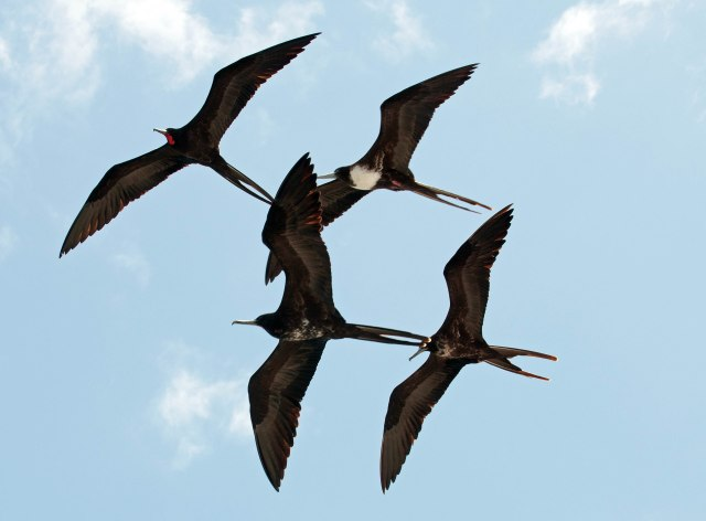 Male, female and immature magnificent frigatebirds, Galapagos