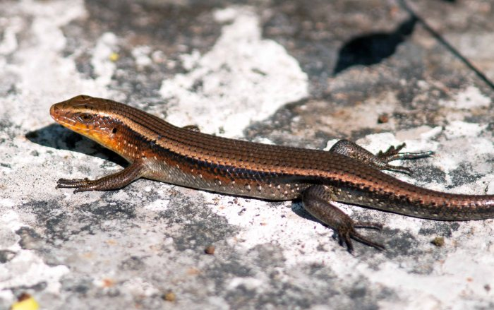 Many-lined Sun Skink (Mabuya multifasciata) from Doi Chiang Dao, Thailand