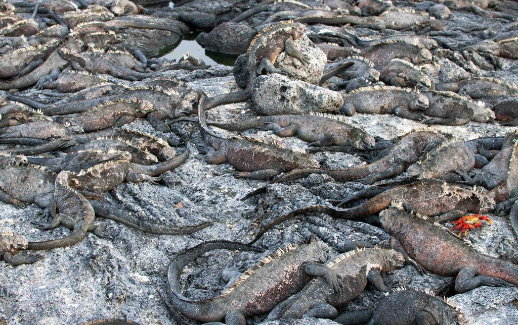 Marine iguana (Amblyrhynchus cristatus) piled up on Fernandina