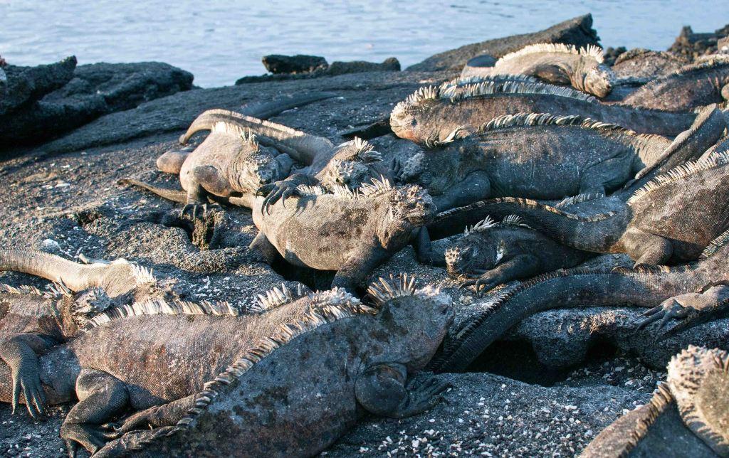 Marine iguana (Amblyrhynchus cristatus) on Fernandina
