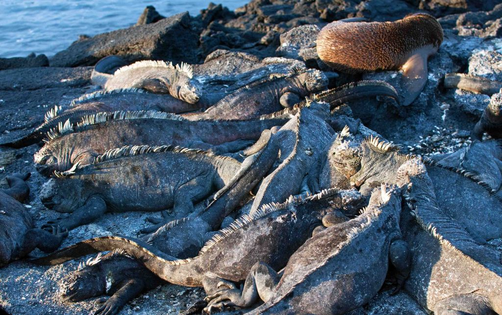 Marine iguanas (Amblyrhynchus cristatus) in a pile on Fernandina