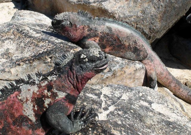 Marine iguanas (Amblyrhynchus cristatus sbsp. venustissimus)