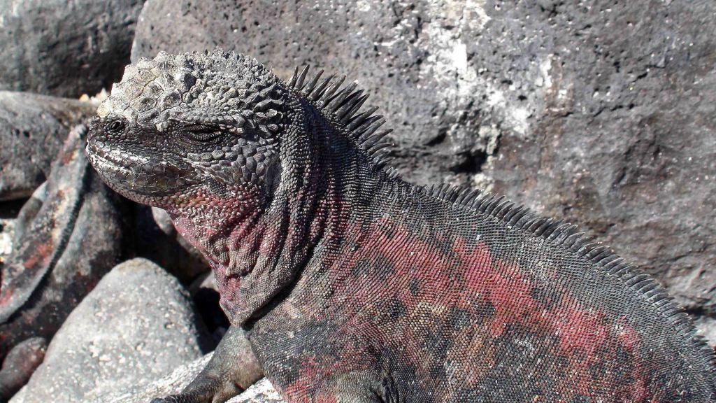 Marine iguana (Amblyrhynchus cristatus sbsp. venustissimus)