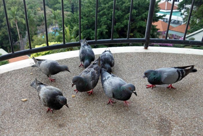 Pigeons feeding on a hotel balcony