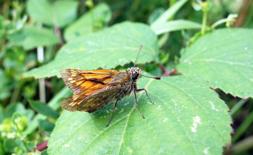 Small Skipper (Thymelicus sylvestris) male Bedfordshire
