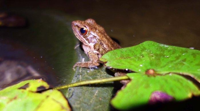 Sapgreen Stream Frog (Hylarana nigrovittata)