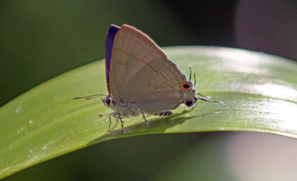 The Common Tit (Hypolycaena erylus himavantus) male