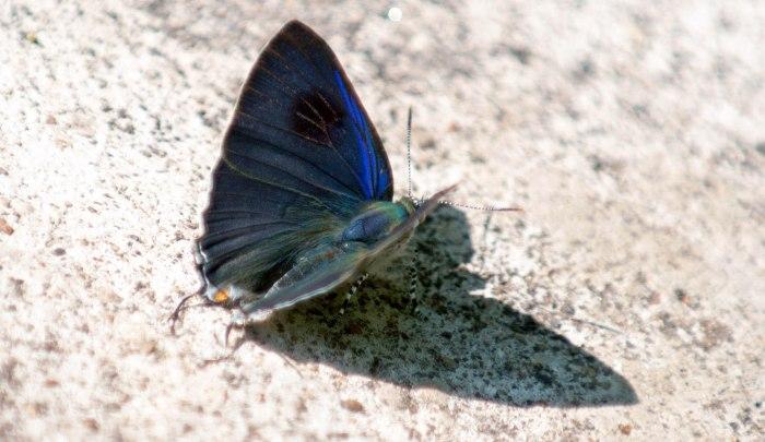 The Common Tit (Hypolycaena erylus himavantus )