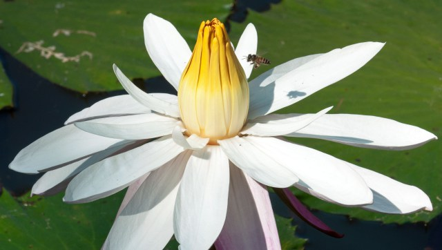 Honey bee visiting water lily