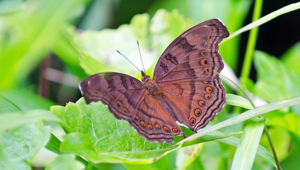 Brown pansy ( Junonia hedonia)  (Linnaeus, 1764) from N. Sulawesi, Indonesia