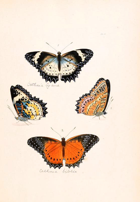 Cethosia biblis in Plate IV in Drury (1770-82)