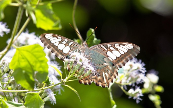 Clipper (Parthenos sylvia apicalis) showing lighter underside