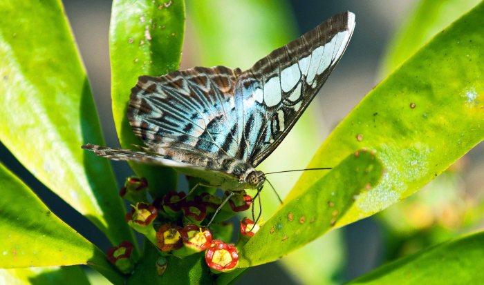 Clipper (Parthenos sylvia apicalis) feeding on nectar