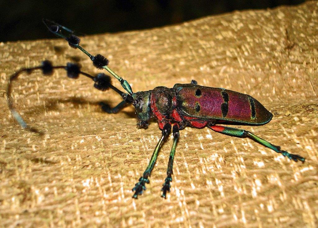 The longhorn beetle, Diastocera wallici tonkinensis
