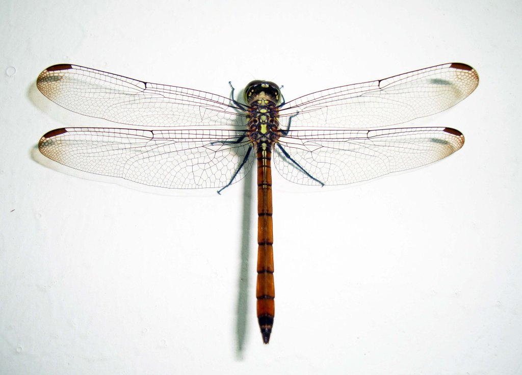 Dragonflies were a common sight in Carboniferous forests