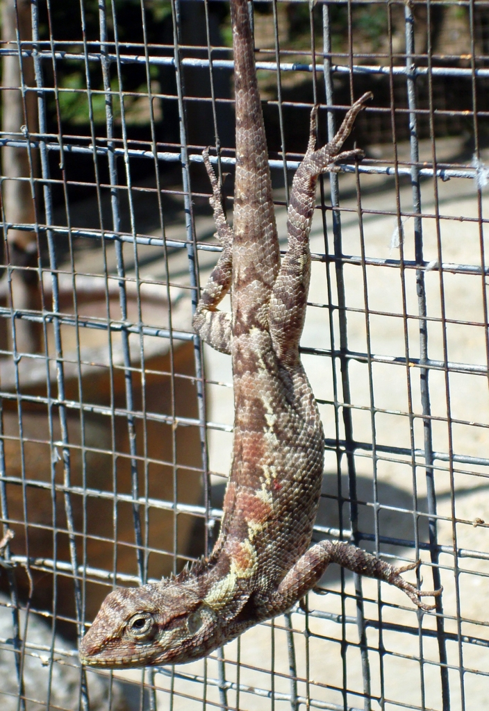 The Garden Fence Lizard (Calotes versicolor) Chiang Mai