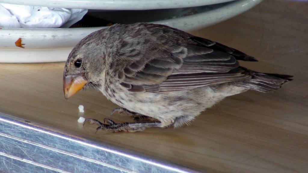 Darwin's Ground finch feeding on rice in the airport at Baltra, on the Galapagos Islands