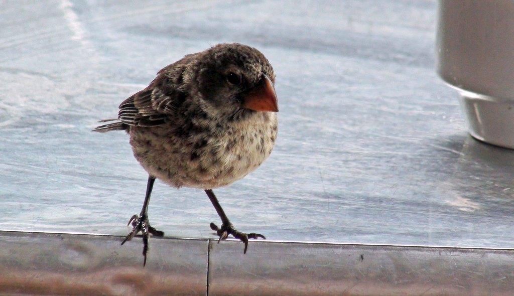 Darwin's ground finch