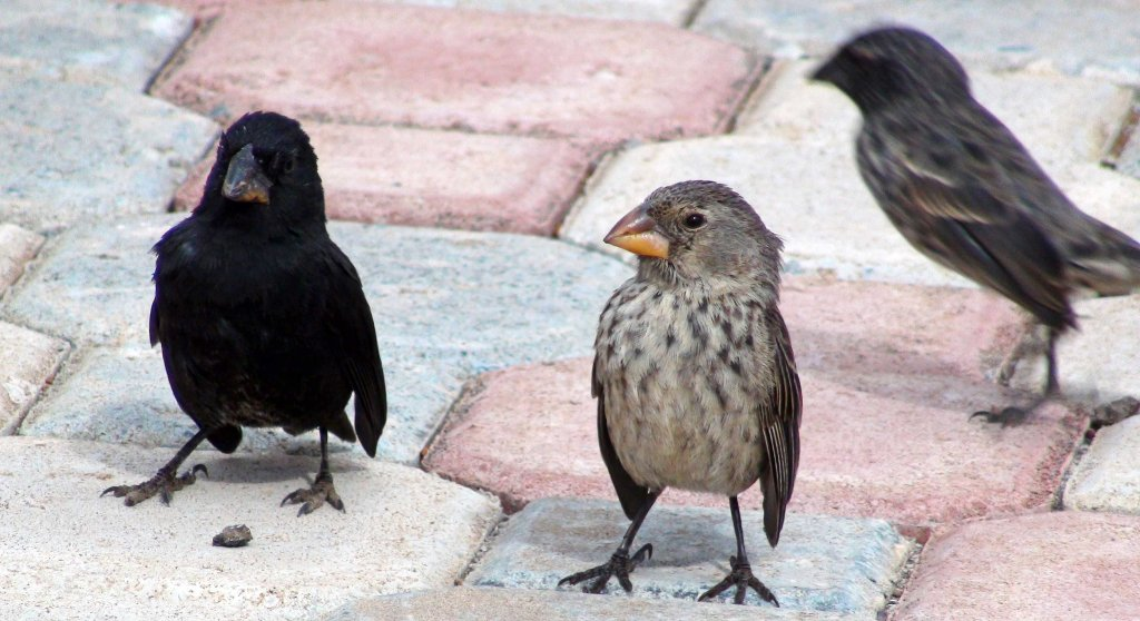 Darwin's ground finches on the The Galápagos Islands