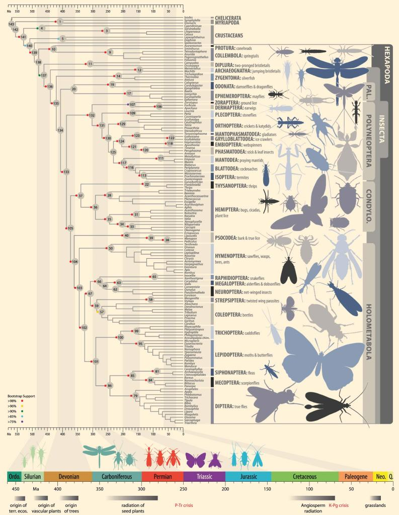 Fig. 1. Dated phylogenetic tree of insect relationships in Misof et al. (2014).