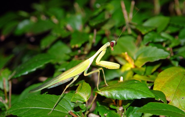 Mantids have been stalking the earth for over 300 million years