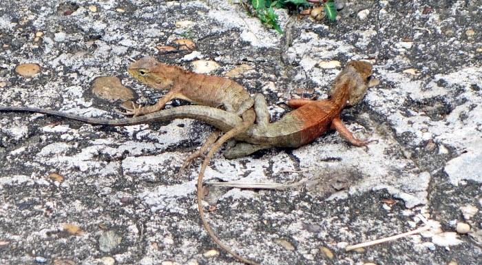 Mating Garden Fence Lizards (Calotes versicolor)