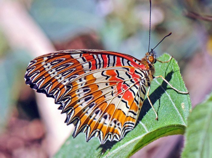 Red Lacewing Cethosia bilbis bilbis) male