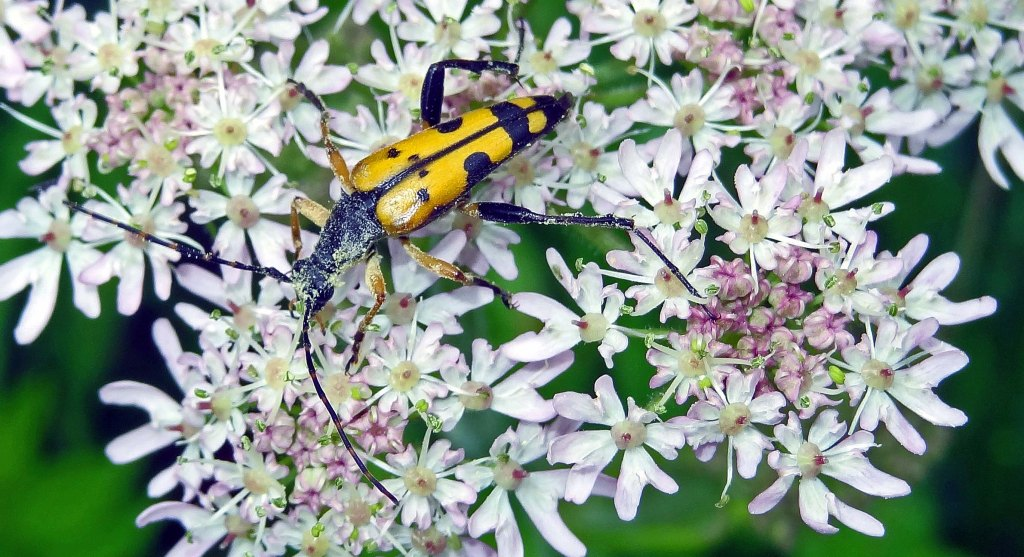 Spotted Longhorn (Strangalia maculata)