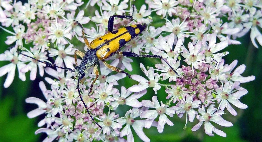 Spotted Longhorn (Strangalia maculata)