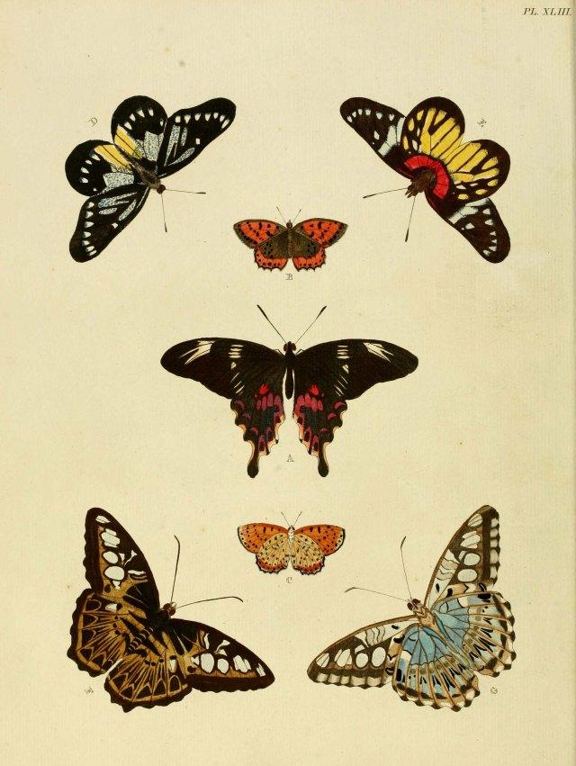 Original illustration of Parthenos sylvia from Cramer, P. & Stoll, C. ([1775]-1779-82) De uitlandsche Kapellen. Courtesy of the Biodiversity Heritage Library.