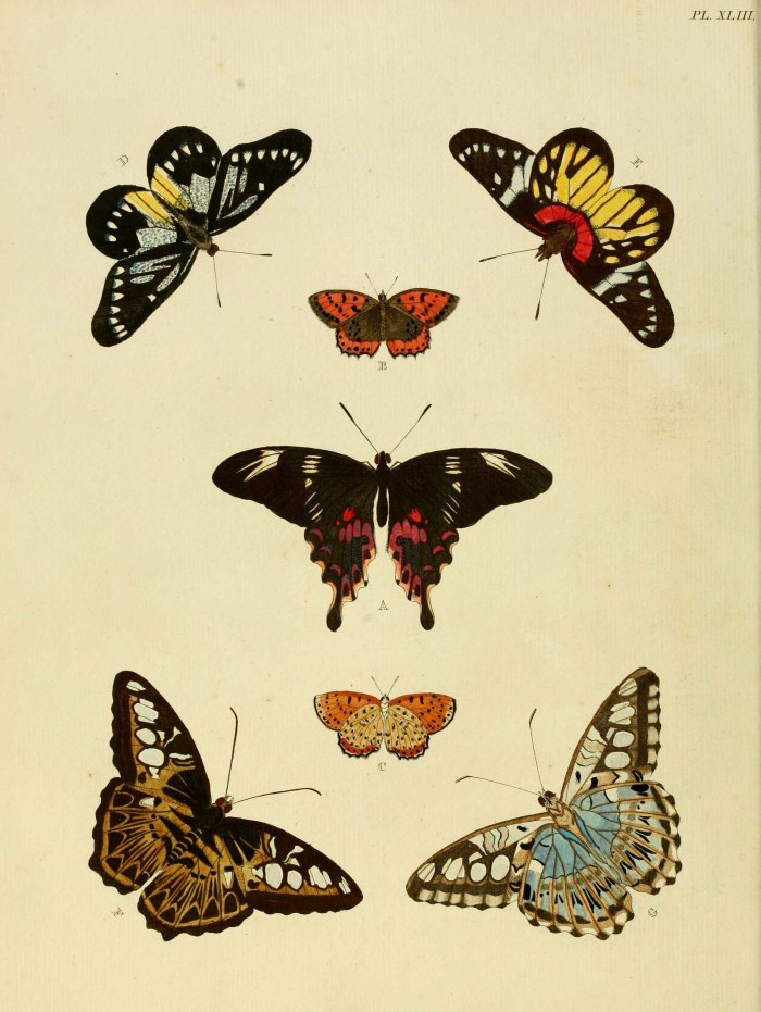 Original illustration of Parthenos sylvia from Cramer, P. & Stoll, C. ([1775]-1779-82) De uitlandsche Kapellen. Courtesy of the Biodiversity Heritage Library.
