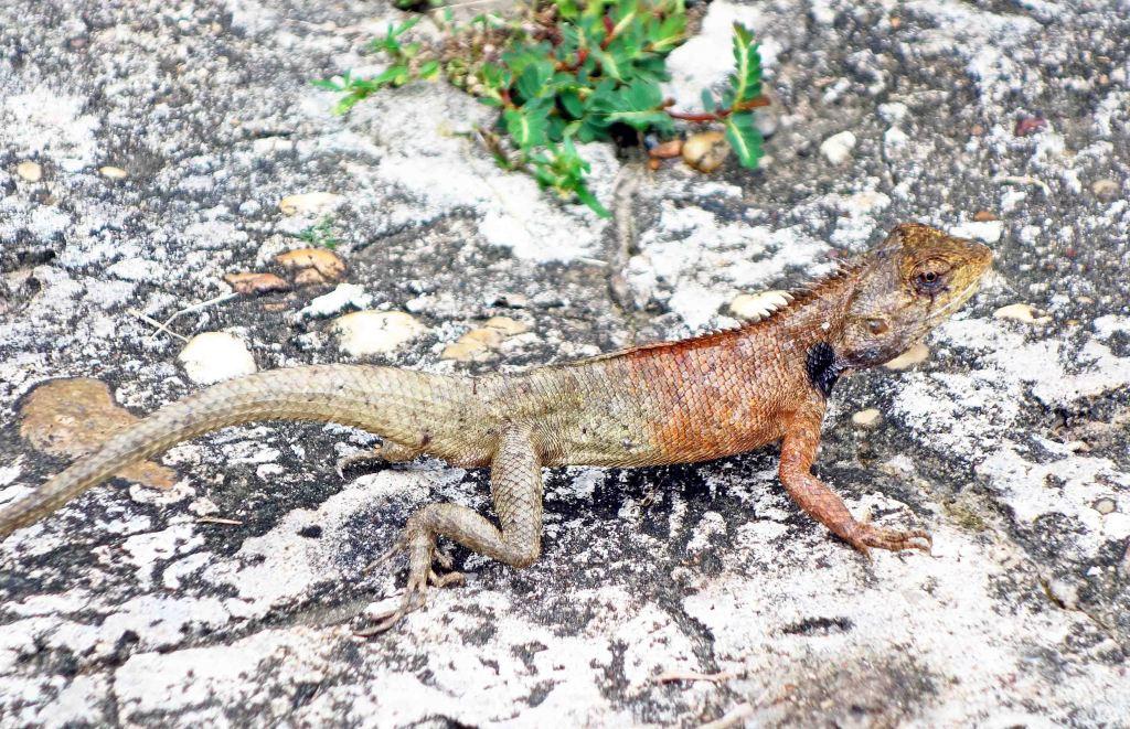 The Garden Fence Lizard (Calotes versicolor)