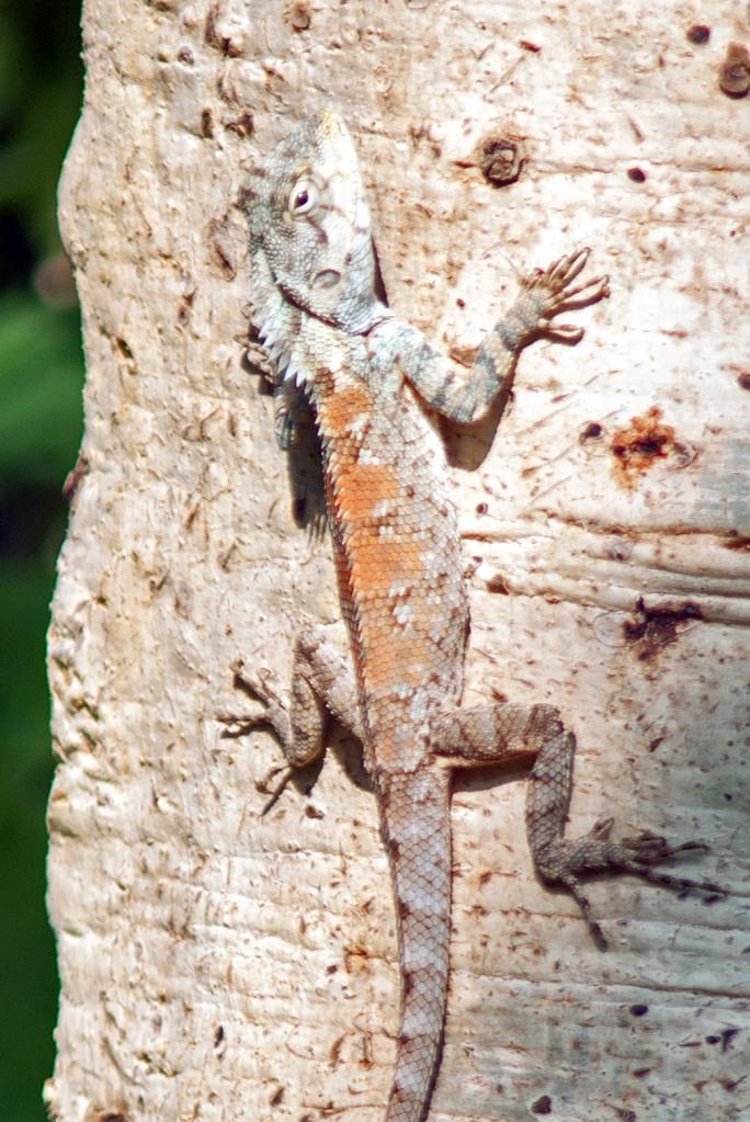 The Garden Fence Lizard (Calotes versicolor), northern Thailand.