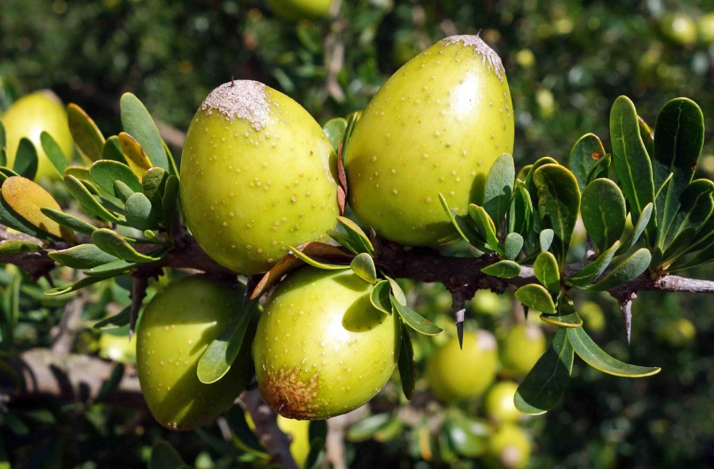 Argan (Argania spinosa) fruits