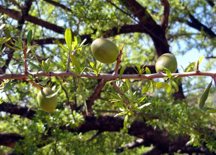 Argan nuts growing on a tree in Morocco